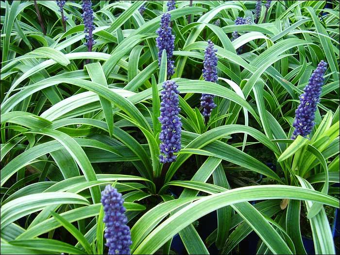 Ace Mondo Suppliers Of Mondo Grasses And Liriopes