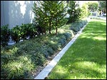 Ace mondo suppliers of mondo grasses and liriopes for Low maintenance garden nz