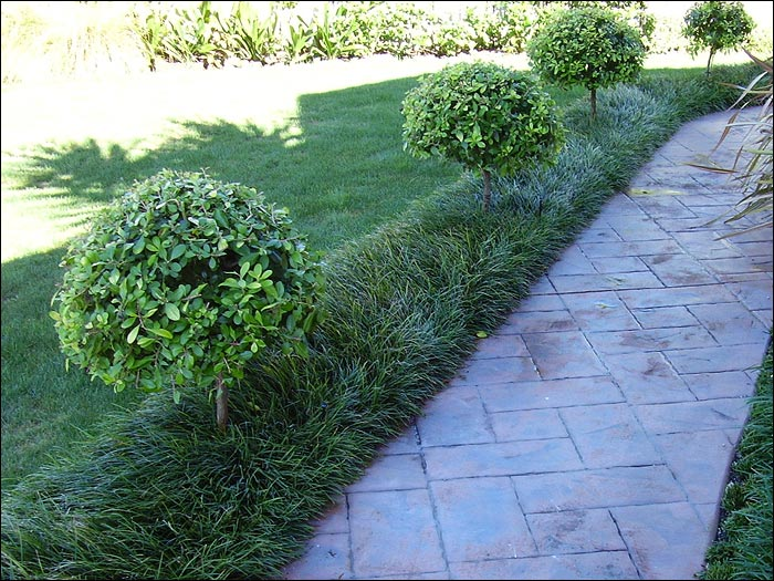 Nz Grasses For Landscaping Ace mondo suppliers of mondo grasses and liriopes ophiopogon japonicus ophiopogon japonicus ophiopogon japonicus workwithnaturefo