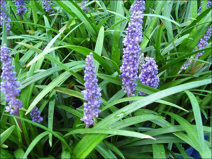 A Very Hardy Gr Like Perennial With Deep Green Foliage And Purple Flower Spikes Rising From The Centre Of Each Clump Flowers Early Summer To